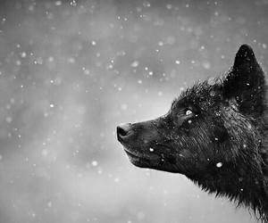 wolf and beautiful image