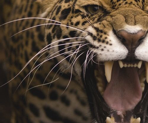 animal, leopard, and roar image