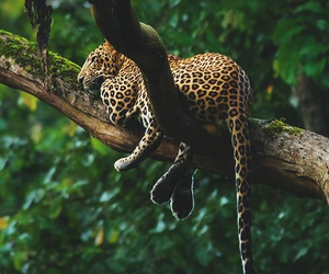 animal, leopard, and nature image