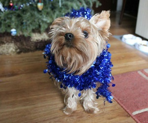 christmas, fashion, and Terrier image