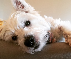 dog, puppy, and west highland white terrier image