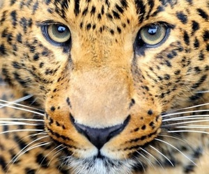 animals, leopard, and wallpaper image