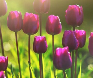 tulipas and flores image