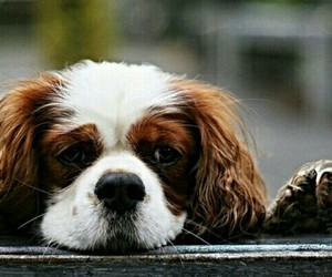 animal, nice, and cavalier image