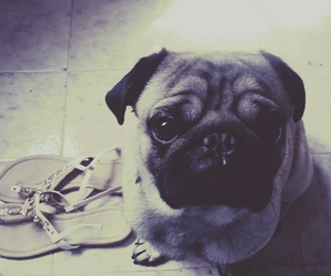 pug lovely cute puppy image