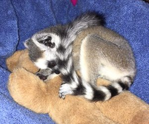 baby animals, cute animals, and ring tailed lemur image
