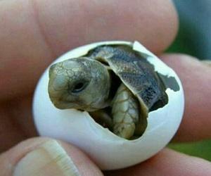 animal, Tortuga, and huevo image