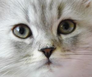 grau, babykatze, and kittn image