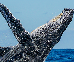 Humpback Whale, sports, and tours image