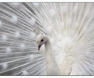 white, peacock, and animal image