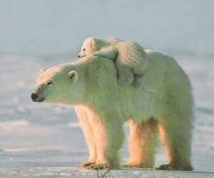 animal, Polar Bear, and bear image
