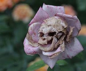 rose skull image