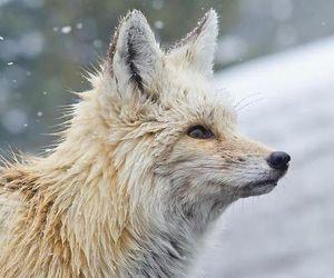 fox, animal, and snow image