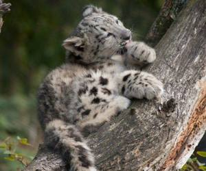 animal, cub, and snow leopard image