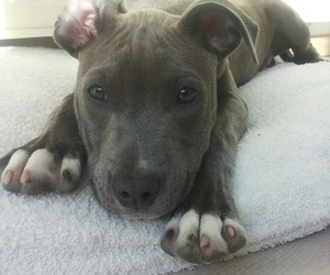 adorable, animals, and bullterrier image
