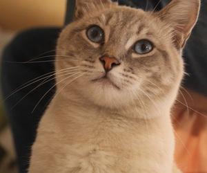 blue, blue eyes, and cat image
