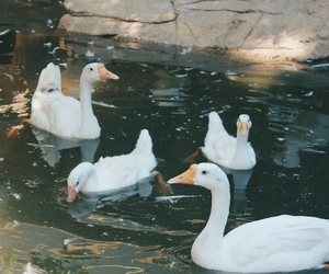 animals, ducks, and white image
