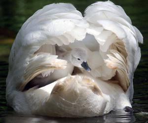 animal and Swan image