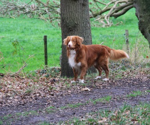 dog, woods, and toller image