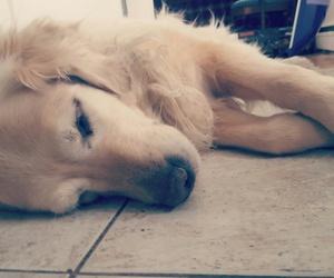dog, cute, and golden retriever image