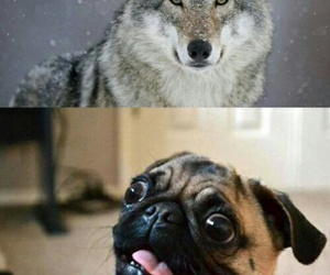 dog, funny, and wolf image