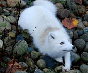 photography, fox, and white image