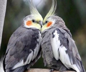 birds, love, and cockatiel image