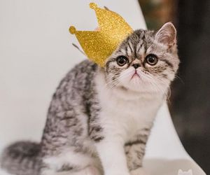 cat, animal, and king image