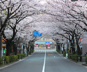 blossom, canon, and japan image