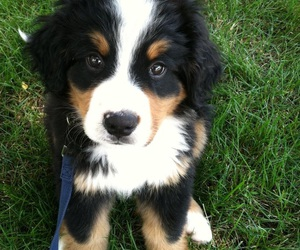 dog, puppy, and bernese image