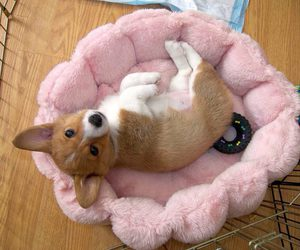 baby animals, corgi, and puppy image