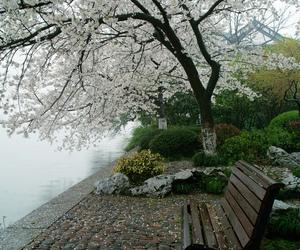 sakura and tree image