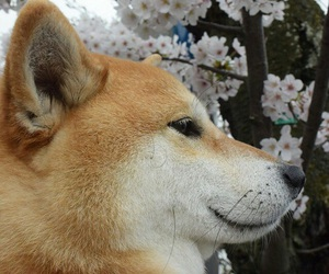 shiba inu, cute, and dog image