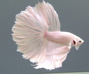 fish, pink, and white image