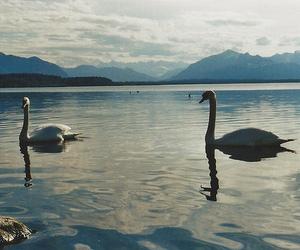 beautiful, Swan, and animals image