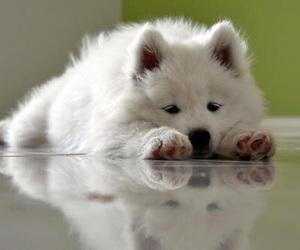 Samoyed, dog, and puppy image