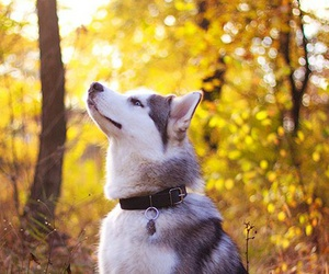husky, dog, and autumn image