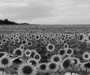 flowers, sunflower, and black and white image