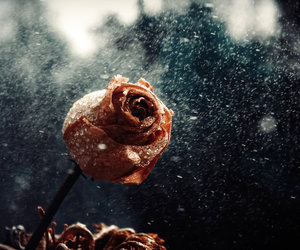 beauty, rain, and rose image