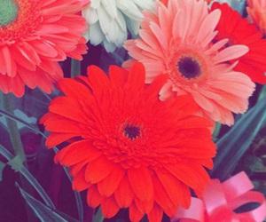 beautiful, flowers, and gerberas image
