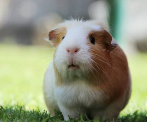 animals, cutie, and guinea image