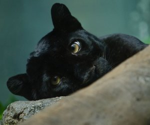 animal, black, and beautiful image