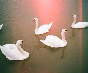 Swan, photography, and animal image
