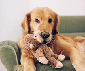 dog, golden retriever, and cute image