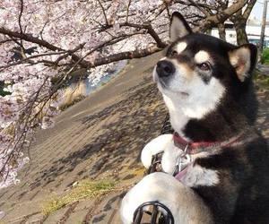 dog, japan, and sakura image