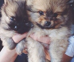 puppies, cuties, and fluffy image