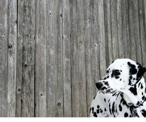dalmation and dog image