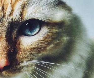cat, blue eyes, and white image