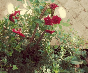 flowers, scarlet, and garden image
