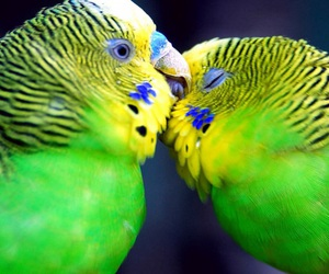 love, parrots, and birds image